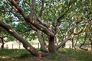 snaggy oak tree at the nature reserve de Manteling near Oostkapelle on the peninsula Walcheren, Zeeland, Netherlands.<br /> <br /> knorrige Eiche im Naturschutzgebiet de Manteling bei Oostkapelle auf Walcheren, Zeeland, Niederlande.