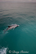 Hector's dolphin, Cephalorhynchus hectori, Endangered Species, endemic to New Zealand, Akaroa, Banks Peninsula, South Island, New Zealand ( South Pacific Ocean )