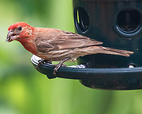 House Finch. Image taken with a Nikon D5 camera and 200-500 mm f/5.6 VR lens.
