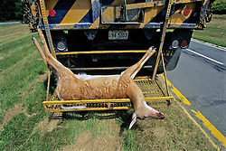 Dead Deer Hit By Vehicle Being Loaded Onto Truck