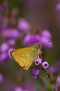 Large skipper butterfly (Ochlodes faunus) on bell heather. Dorset, UK.