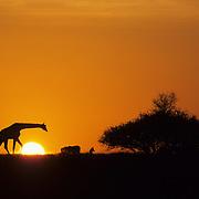Giraffe (Giraffa camelopardalis) on the horizon at sunset. Amboseli National Park, Kenya, Africa