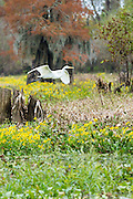 Great Egret bird wings outstretched - wingspan - soaring in flight over October daisies in Atchafalaya Swamp, Louisiana USA