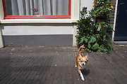 Een klein hondje loopt door de Haverstraat in Utrecht.<br />