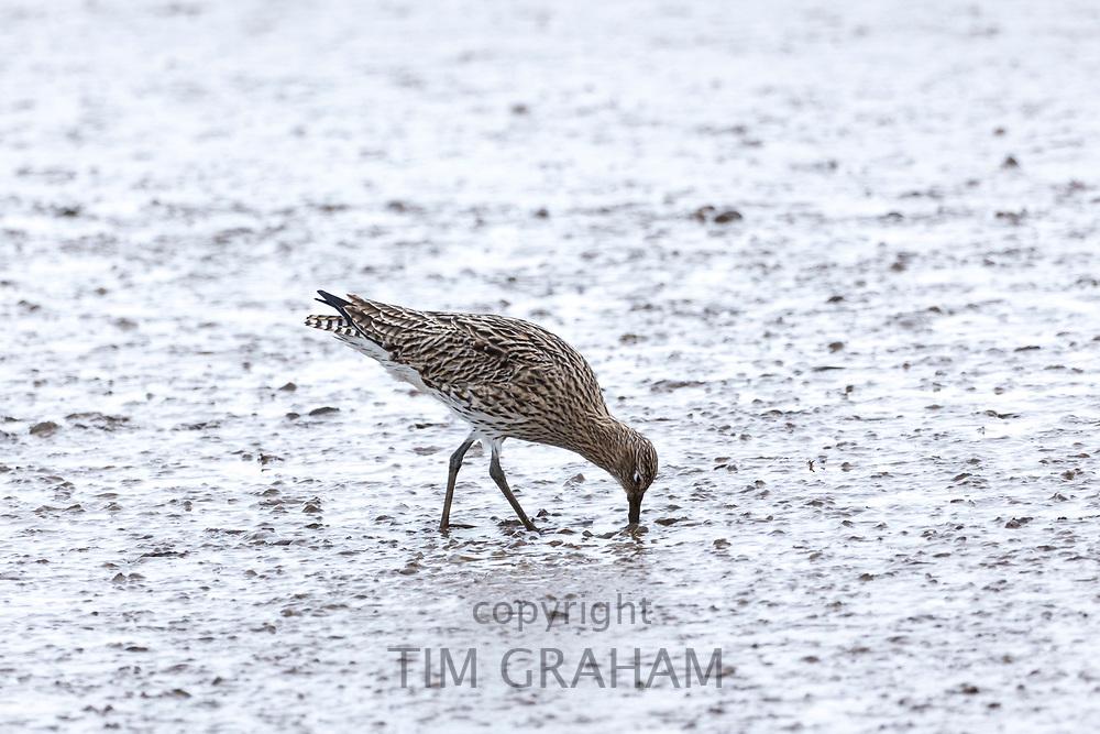 Curlew, Numenius arquata largest European wading bird using long curved bill beak feeding in mudflats at estuary in Norfolk, UK