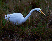 Great Egret (Ardea alba). Black Point Wildlife Drive. Merritt Island National Wildlife Refuge. Image taken with a Nikon D3 camera and 70-200 mm f/2.8 VR lens.