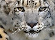 spectacular-wildlife-photo-decor-by-world-travel-photographer-randy-wells-videographer-filmmaker-cinematographer-storyteller-writer-location-and-studio-specialist, Image portrait of a snow leopard gazing