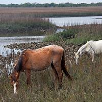 USA, Georgia, Cumberland Island. Feral horses roam the marshes of Cumberland Island.