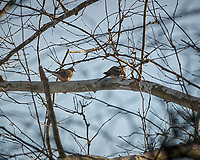 Two Mourning Doves in a treel. Image taken with a Nikon D2xs camera and 70-200 mm f/2.8 VR lens (ISO 200, 200 mm, f/6, 1/500 sec).