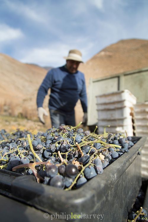 Farmer by grape harvest in Elqui Valley, Chile