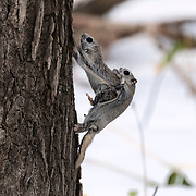 This is a pair of Japanese dwarf flying squirrels (Pteromys volans orii) engaged in copulation. This is an extended process spanning many hours, during which the male often needs to fend off rivals while engaging in repeated bouts of copulation. As shown here, the female can, and often does, put up some measure of resistance, occasionally dislodging the male completely. The male's penis is visible.