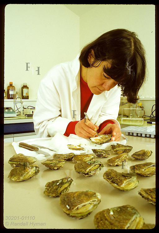 Biologist Dominique Chagot of IFREMER extracts heart tissue from Bonamia-infected flat oyster. France