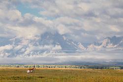 Pronghorn antelope buck, Grand Tetons, stormy day, Grand Teton National Park
