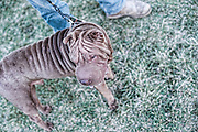 A Shar Pei with his owner.