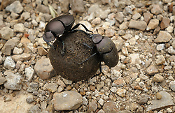 Dung beetles roll a ball of bison dung along a road in the Tallgrass Prairie National Preserve located in the Flint Hills of Kansas near the towns of Strong City and Cottonwood Falls. Dung beetles feed on manure, using it provide housing and food for their offspring and for prairie and pasture nutrient recycling. A male and a female beetle will work in a pair to roll a ball of dung away from a manure pile. They then will bury the ball as a home for their young. Drawn to manure by odor, a beetle will fly up to 10 miles in search of the right manure. Studies have also shown that dung beetles use the Milky Way as a directional bearing to navigate. Tallgrass Prairie National Preserve is the only unit of the National Park Service dedicated to the preservation of the tallgrass prairie ecosystem. The Tallgrass Prairie National Preserve is co-managed with The Nature Conservancy.