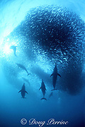 common dolphins, Delphinus delphis, feed in a baitball of sardines, Sardinops sagax, during the annual Sardine Run up the east coast of South Africa ( Indian Ocean )