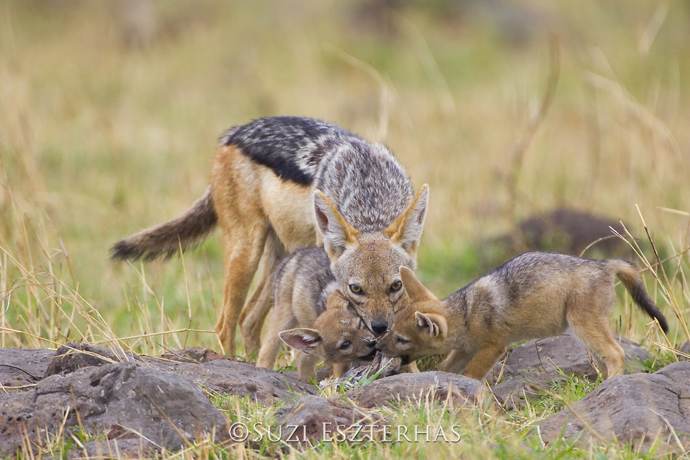 Black-backed Jackal<br /> Canis mesomelas<br /> Regurgitating to4 week old pup(s) <br /> Masai Mara Triangle, Kenya