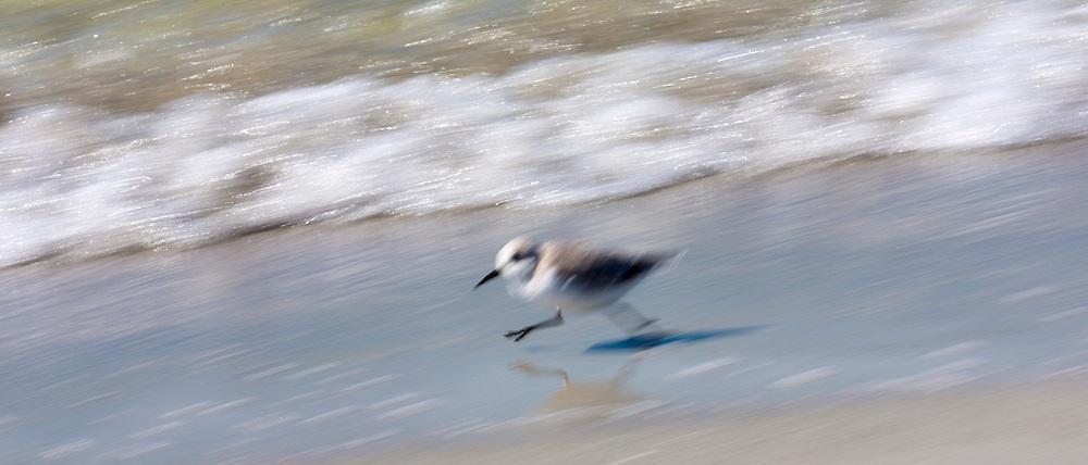 Sanderling, Calidris alba, wading shorebirds, running along the beach shoreline at Captiva Island, Florida USA