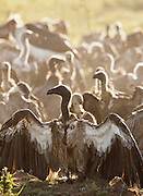 A colony of vultures feast on the carcass of a giraffe in Cottars Conservancy, Kenya