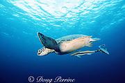 green sea turtle, Chelonia mydas, with sharksuckers ( remoras ), Echeneis naucrates, Sipadan Island, Borneo, Malaysia ( Celebes Sea, Pacific Ocean )