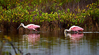 Pair of Roseate Spoonbills. Merritt Island National Wildlife Refuge. Image taken with a Nikon D4 camera and 500 mm f/4 VR telephoto lens (ISO 640, 500 mm, f/4, 1/500 sec)