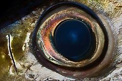 Eye of Bigeye Tuna, Thunnus obesus, off Kona Coast, Big Island, Hawaii, Pacific Ocean.