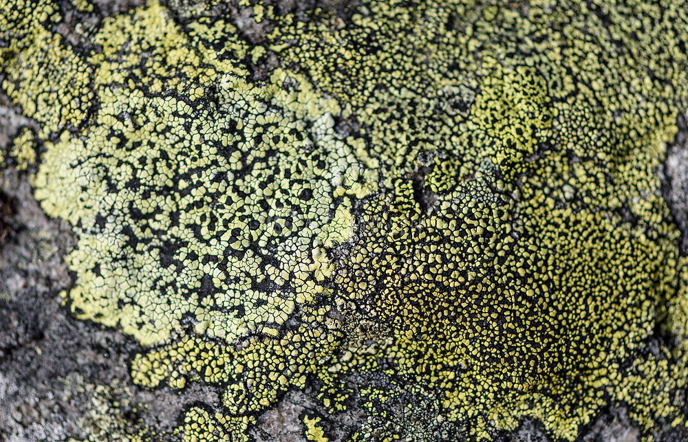 Common map lichen (Rhizocarpon geographicum) growing at about 1000 meters elevation in southern Norway.