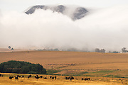 Ostriches dotted the rolling landscape on the Garden Route in South Africa. The hills were massive, but the low swirling cloud made them appear even bigger. I kept pinching myself to keep things real as everything just seemed so 'surreal' – ostriches as numerous and widespread as sheep in Wales!<br /><br />What I have noticed is that the heat haze, which was visible to the human eye, is particularly obvious when shooting on the 100-400mm Fuji on the XT2. The heat haze seems magnified creating a rather painterly effect when viewing the image in close up.