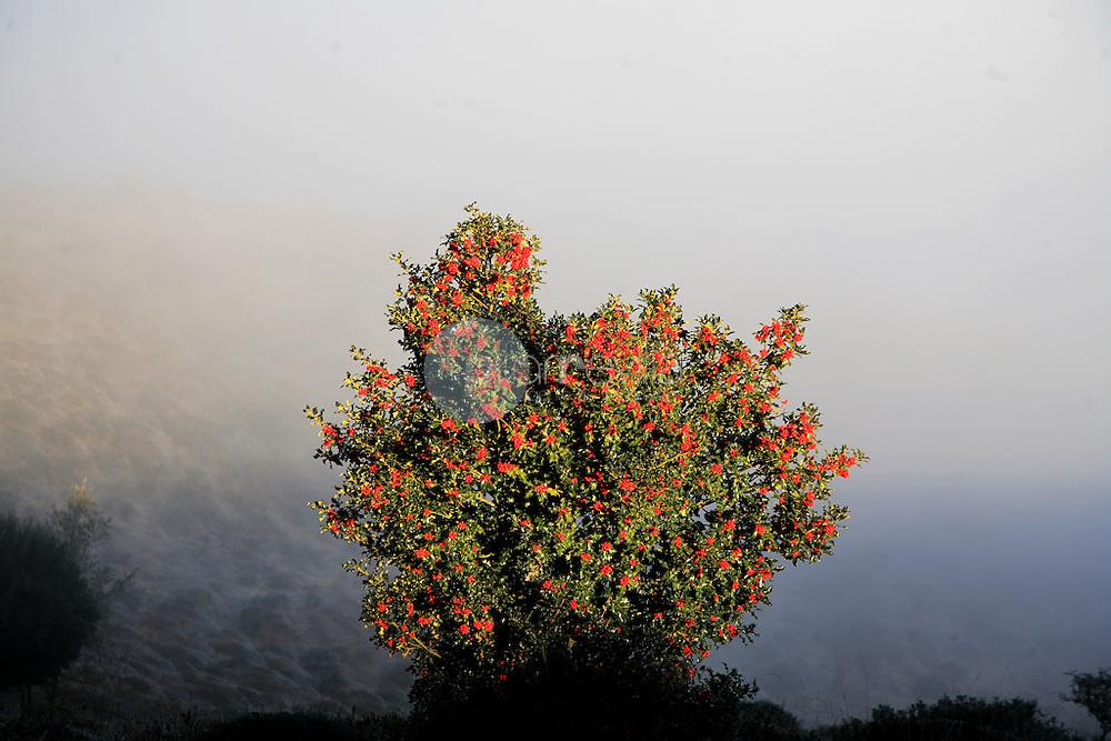 Ilex aquifolium. La Rioja ©Daniel Acevedo / PILAR REVILLA