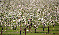 © Licensed to London News Pictures. 28/04/2014.  Myrtle Farm, Sandford, Somerset. Martin Thatcher of Thatchers Cider pictured in apple orchard in Somerset. Photo credit : Jason Bryant/LNP