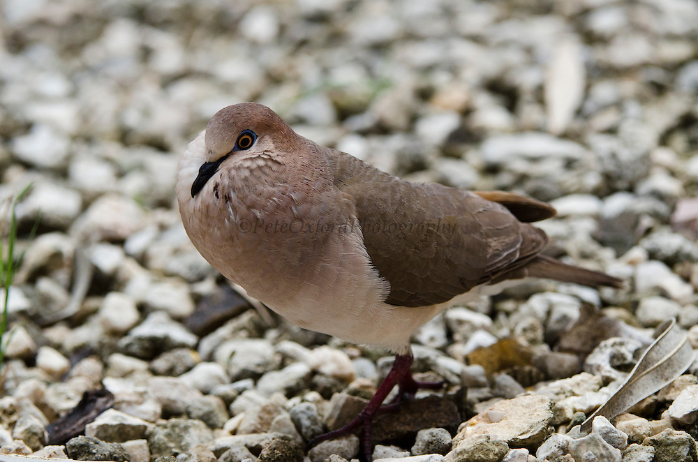 White-tipped Dove (Leptotila verreauxi)<br /> BONAIRE, Netherlands Antilles, Caribbean<br /> HABITAT & DISTRIBUTION: Southernmost Texas in the USA through Mexico and Central America south to western Peru and central Argentina. Breeds on the offshore islands of northern South America, including Trinidad and Tobago and the Netherlands Antilles.