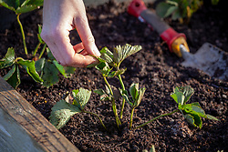Planting strawberry bare root runners in a raised bed. Tugging leaves to check they're firmly planted