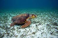 Loggerhead Turtle - Belize
