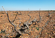 prieto picudo old vine sandy gravelly soil planted ca 1920 Bodegas Margon , DO Tierra de Leon , Pajares de los Oteros spain castile and leon