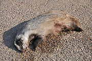 Dead European badger (Meles meles) at the side of a road. The European badger is carnivorous, feeding mainly on earthworms which it seeks out in mild and damp weather conditions. The badger has a large feeding territory and may travel considerable distances in order to find food. If this involves crossing roads there is a risk of a fatal collision with a motor vehicle.
