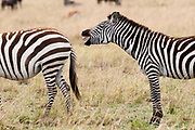 Zebra (Equus quagga), Masai Mara, Kenya.