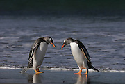 Two Gentoo penguins return from the sea at the same time, and bow their heads down to greet each other.