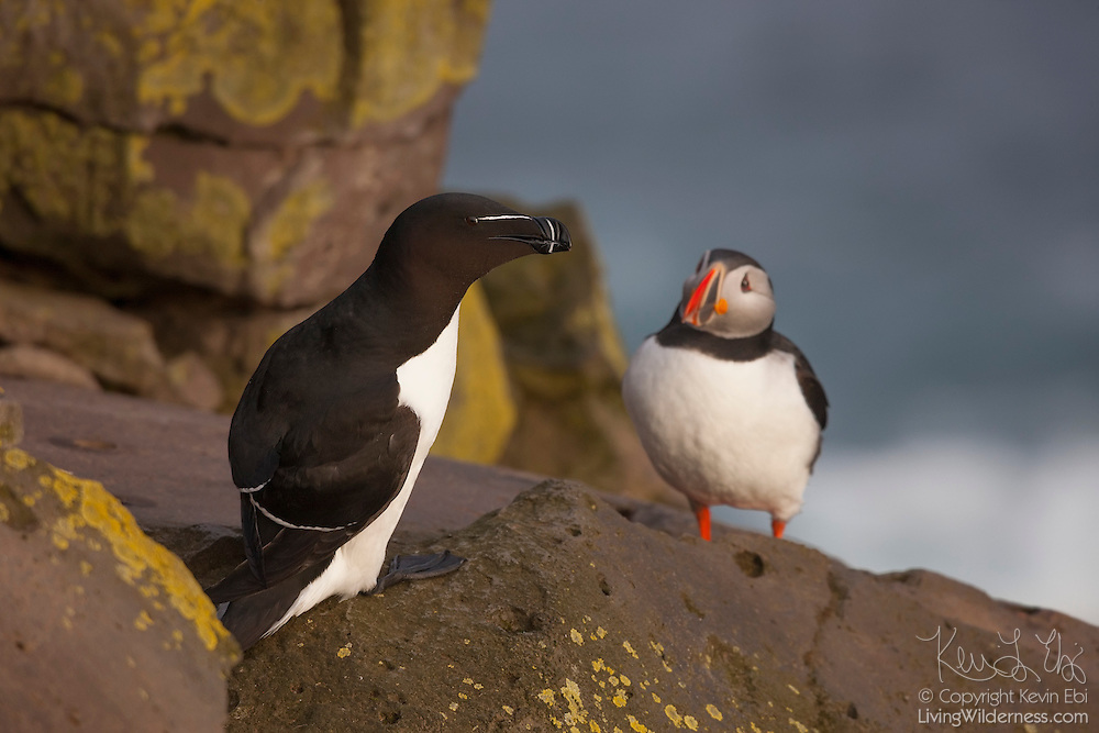 An Atlantic puffin (Fratercula arctica), right, walks up to check out a razorbill (Alca torda) on the Látrabjarg bird cliff in western Iceland. Látrabjarg is Europe's largest bird cliff: 14 km (8.7 miles) long and standing up to 440 meters (1444 feet) above the Atlantic Ocean. During the breeding season, Látrabjarg hosts as much as 40 percent of the breeding populations of some birds, including razorbills.