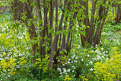Euphorbia amygdaloides var. robbiae and Hyacinthoides non-scripta 'Alba' growing at the base of hazelnuts in the Nuttery at Sissinghurst. Wood Spurge, White Bluebell