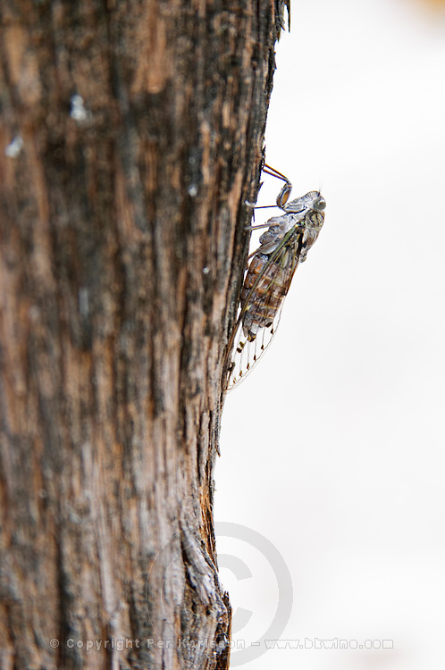 A cicada on a tree trunk in front of the mosque. Pocitelj historic Muslim and Christian village near Mostar. Federation Bosne i Hercegovine. Bosnia Herzegovina, Europe.