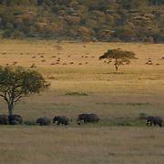 African Elephant ( Loxodanta africana) During wildebeest migration. Serengeti National Park. Tanzania. Africa. February.