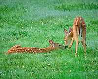 Pair of young fawns with spots. Image taken with a Fuji X-T2 camera and 200 mm f/2 OIS lens and 1.4x teleconverter (ISO 12800, 280 mm, f/5.6, 1/400 sec)