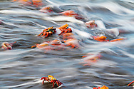 Sally Lightfoot Crabs cling to the rocks as the water surges over them on Santiago Island in the Galapagos National Park, Galapagos, Ecuador, South America