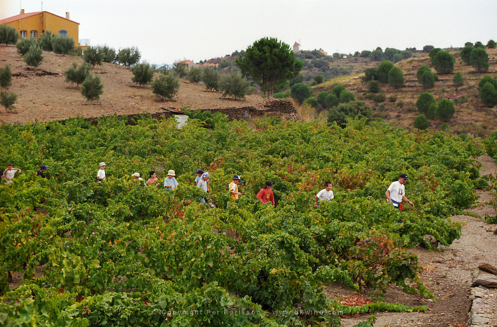 A class of school children on excursion in the vineyard to harvest. Cave cooperative Cellier des Dominicains, Collioure. Collioure. Roussillon. France. Europe.