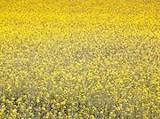 A field of Oilseed Rape, Dorogne region, France