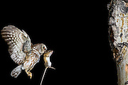 Saw-whet owl bringing a deer mouse to it's hungry chicks at a nest in Wyoming