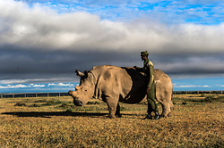 """In December of 2009, the Lewa Conservancy in Kenya airlifted the last four breeding age Northern White Rhinos from Prague's Dvur Kralove Zoo in the Czech Republic 4000 miles away to live """"freely"""" at the Ol Pejeta Conservancy in Kenya.  The Northern White Rhino is considered by scientists to be nearly extinct. As of 2015, there are only 5 Northern White Rhinos living in the world.  Sudan is the last known male alive, shown here with armed guards at Ol Pejeta June 2, 2015.   (Photo by Ami Vitale)"""