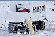 01874-11120 Polar bear (Ursus maritimus) near Tundra Buggy, Churchill, MB