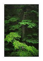 Old Growth Forest, Glacier Peak Wilderness North Cascades Washington