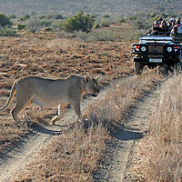 Africa, South Africa, Kwandwe. A lioness passes infront of a vehicle of visitors at Kwandwe Game Reserve.